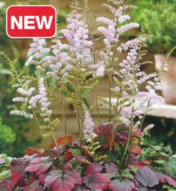 Astilbe Color Flash