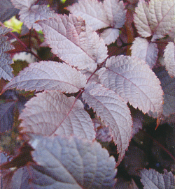 Astilbe Chocolate Shogun