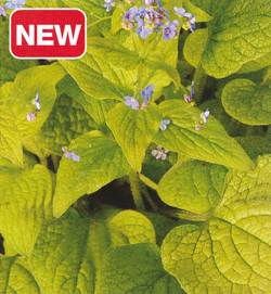 Brunnera Green Gold
