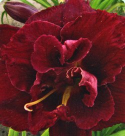 Hemerocallis Double Red Royal