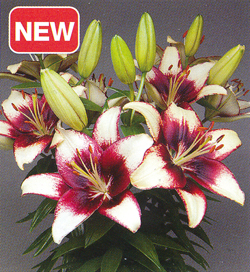 Lilium Hot Spot White