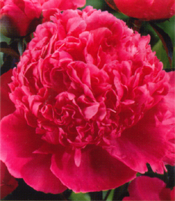 Paeonia Best Man