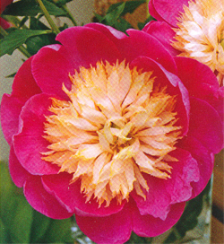 Paeonia Bowl of Love