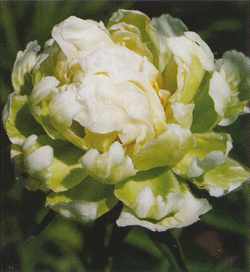 Paeonia Greeen Halo