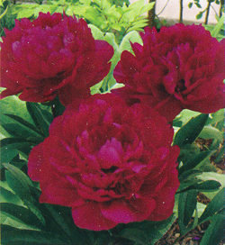 Paeonia Red Magic