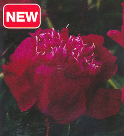 Paeonia Red Spider