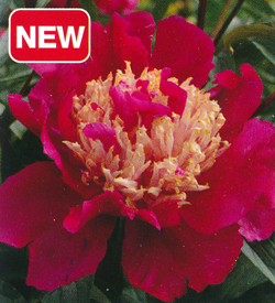 Paeonia Tom Cat